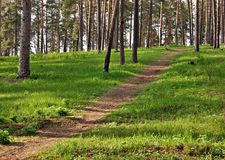 Pine forest. Deserted path in the pine forest royalty free stock photography