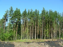 Pine forest from direct coniferous trees. Blue sky over the forest, young pine trees stand still, adding to growth, calmly meeting the wind and the sunny heat of stock images