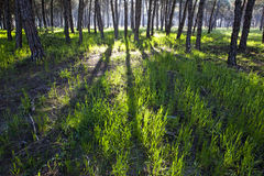 Pine forest at Donana National Park Stock Photo