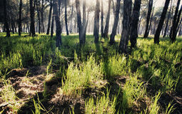 Pine forest at Donana National Park Royalty Free Stock Image