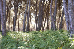 Pine forest at Donana National Park Royalty Free Stock Photography
