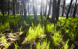 Pine forest at Donana National Park Stock Image