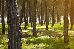Pine forest at Donana National Park Royalty Free Stock Photos