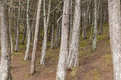 Pine forest, trees in the forest. Pine forest with dry branches royalty free stock image