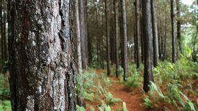 Pine forest with dry leaves on the ground royalty free stock photography
