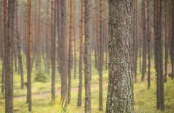 Pine trees in early morning Royalty Free Stock Images