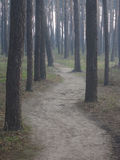 Pine forest in the early morning Royalty Free Stock Photos