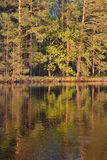 The pine forest edge. Stock Photography