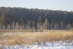 Pine forest edge. Photo of the pine forest teken on november Stock Image