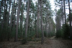 Pine forest. Empty path in pine forest stock photos
