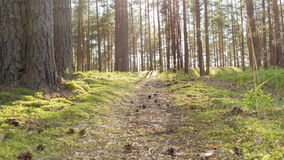 Pine forest in the evening, ground Stock Images