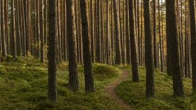 Pine forest at evening lights stock footage