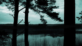 Pine forest in the Evening. Pine forest and View in the Evening royalty free stock photos