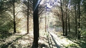 Pine forest fall light trail hiking royalty free stock image