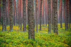 Pine forest in fall. Nature landscape stock image