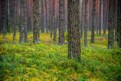 Pine forest in fall. Nature landscape stock images