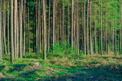 Pine forest with felled tree stumps Stock Photos