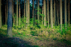 Pine forest with felled tree stumps. In Latvia royalty free stock photo