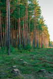 Pine forest. With felled tree stumps in Latvia Stock Images