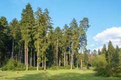 Pine forest. Field and blue sky royalty free stock photo