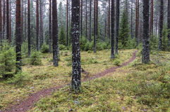 Pine forest. Finnish pine forest at november Royalty Free Stock Photos