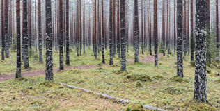 Pine forest. Finnish pine forest at november Royalty Free Stock Photography