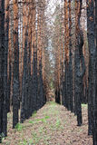 Pine forest after fire Stock Photography