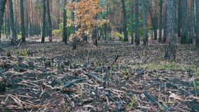 Pine Forest After the Fire, Burnt Ground, Charred Trees. Consequences of forest fire, black cones and tree trunks, charred branches. Sunny, day stock footage