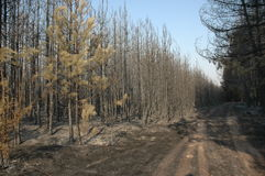 Pine forest after fire Stock Images