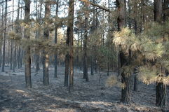 Pine forest after fire Royalty Free Stock Photos