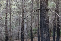A Pine Forest after a Fire stock photography