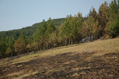 Pine forest after fire. In Stara Planina Old Mountain (large view), in east Serbia Stock Photo