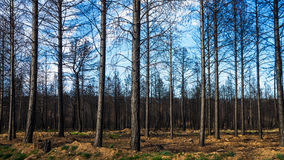 Pine forest fire Royalty Free Stock Photos