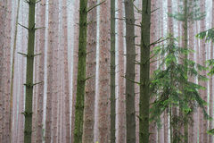 Pine Forest in Fog Royalty Free Stock Image