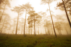 Pine forest with fog royalty free stock images