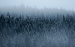 Pine forest in the fog. Pine forest on a mountain slope with the foreground and background covered in dense fog. This image was taken in Corvara, a village in stock photography