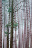 Pine Forest in Fog Royalty Free Stock Photos