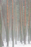 Pine forest in fog. At winter Royalty Free Stock Photography