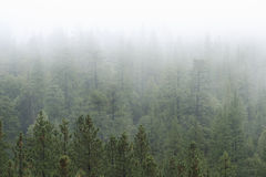 Pine Forest in Fog. Angeles National Forest in fog Royalty Free Stock Photos