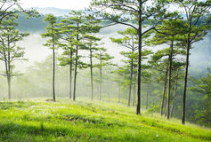 Pine forest and fog in Da Lat city Royalty Free Stock Photo