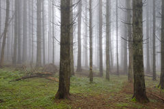 Pine forest with fog. Royalty Free Stock Photos