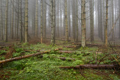 Pine forest with fog. Royalty Free Stock Photo