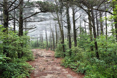 pine forest in the fog with hiking trail Royalty Free Stock Images