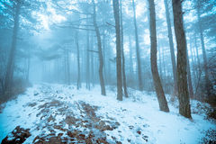Pine forest in fog and snow. Mountain road covered with snow through the pine forest in the fog royalty free stock photography
