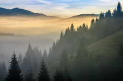 Pine forest in fog at sunrise royalty free stock photo