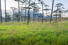 Pine Forest. In the fog Thailand Royalty Free Stock Photography