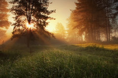 Pine forest. Foggy morning in a pine forest royalty free stock photo