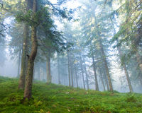 Pine forest on a foggy morning Stock Photo