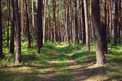 Pine forest with footpath Royalty Free Stock Images