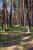 Pine forest with footpath Stock Photography
